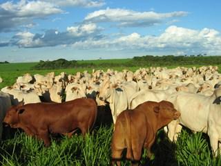 tourinhos-senepol-a-campo